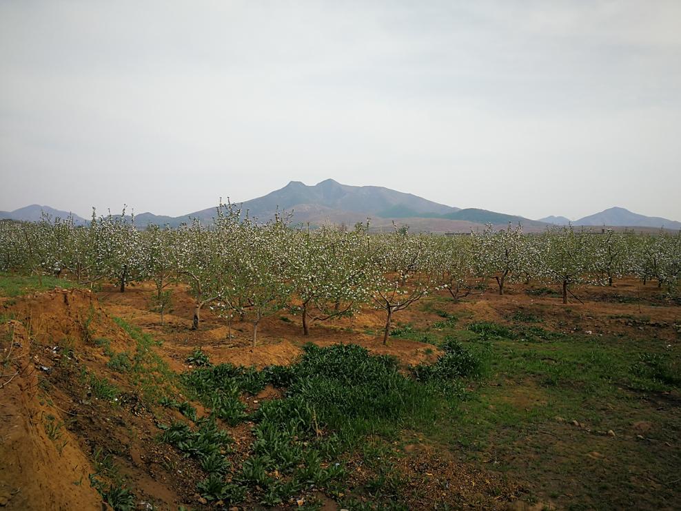 路旁的果树开花了