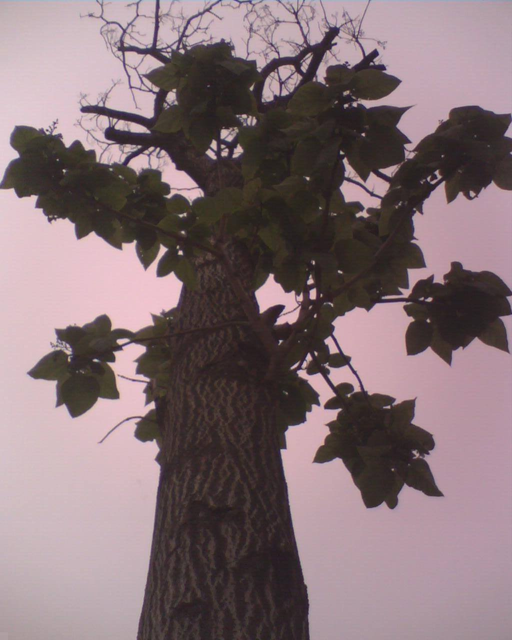 11年6月19日 10点52,在学校游泳馆附近,一棵老树秃了。